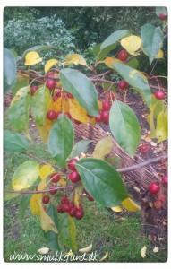 paradisæbletræ